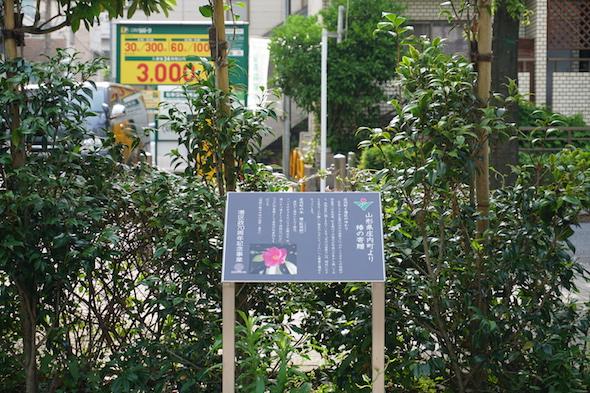 """庄内町より寄贈された""""つばき"""""""